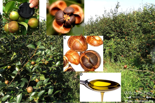 camellia-tea-oil